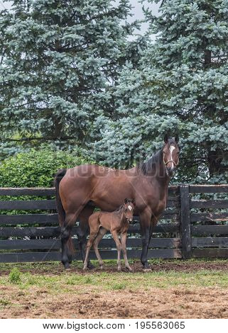 Foal Stands Close to Mare in Paddock along black fence
