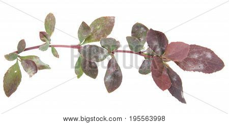 Barberry branch affected by powdery mildew. White spots on leaves of barberry