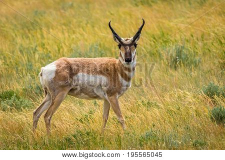 Pronghorn Antelope in high grass location Wyoming