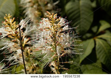 Flowers of a bottlebrush buckeye Aesculus parviflora.