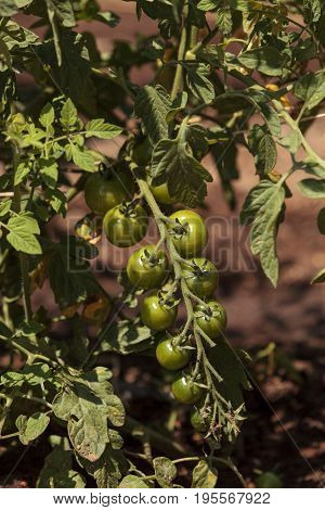 Cherry Tomatoes Growing In An Organic Home Garden