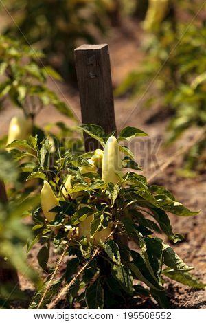 Ivory Bell Pepper Grows In A Vegetable Garden