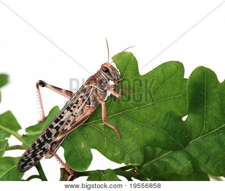 Locust eating a leaf of an oak - macro shot poster
