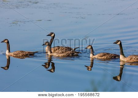 Canada goose (branta canadensis) parents and young swimming in Lake Wausau during the summer-