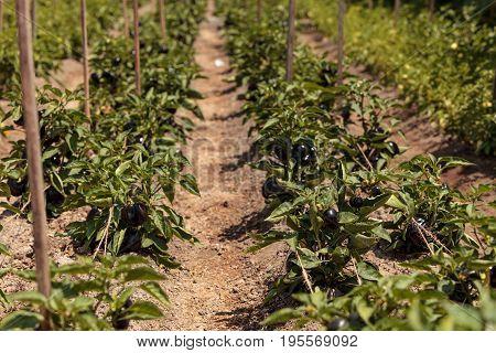Purple Bell Peppers Growing In An Organic Garden