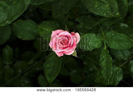 Pink rose on a rose bush in a center of the frame with a water drop after rain and blur green rose leaves in the background