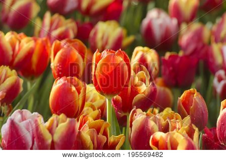 An orange tulip flowers with a drop of dew around by purple tulip flowers in a tulip flower garden in a tulip farm
