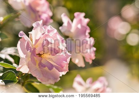 closeup of pale pink hybrid tea roses in bloom in rose garden