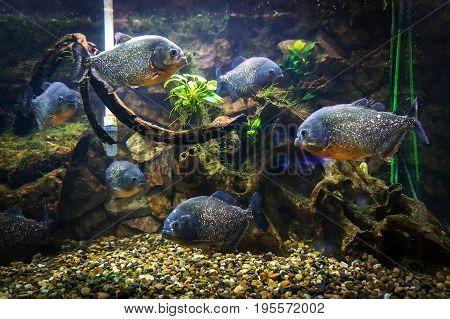 Piranha Swims Under Water On A Background