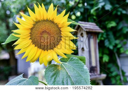 Single sunflower with a birdfeeder out of focus in the background.