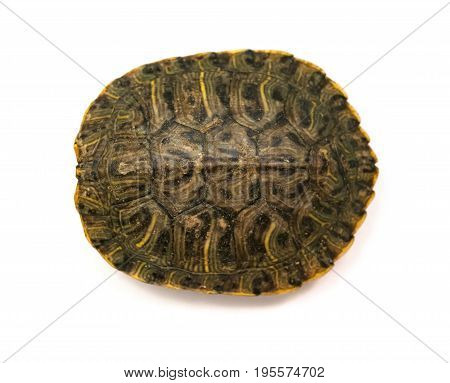 top of a pet turtle red-eared slider or Trachemys scripta elegans