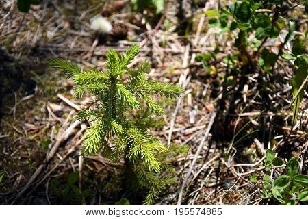 An image of a single spruce tree seedling planted for reforestation purposes.