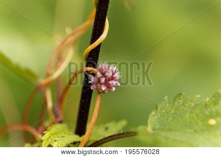 Flowers of a greater dodder Cuscuta europaea a parasitic plant from Europe.