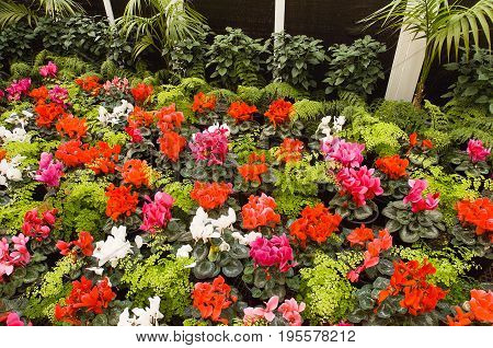 Flowering Cyclamen Plants