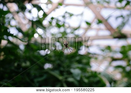Wasp spider on the web, top view.