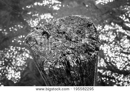 The old stump sticks out of the water. Background. Black and white.