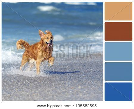Young Golden Retriever Running On The Beach With Palette Color Swatches