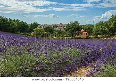 Panoramic view of lavender fields under sunny blue sky and the town of Valensole in the background. Located in the Alpes-de-Haute-Provence department, Provence region, in southeastern France