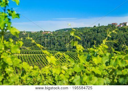 Vineyard in Daruvar region, Croatia, countryside landscape, view through the vineyard leafs, selective focus