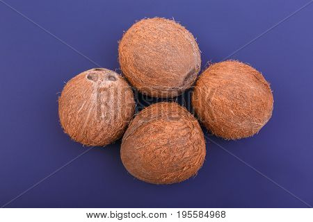 Four fresh whole brown coconuts on dark purple background. Tropical coconuts. Hawaiian nuts. Natural, organic whole coconuts. An exotic and delicious cocos.