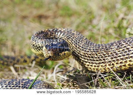 aggressive blotched snake ready to strike attack position ( Elaphe sauromates )