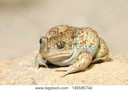close up of common spadefoot toad ( Pelobates fuscus )