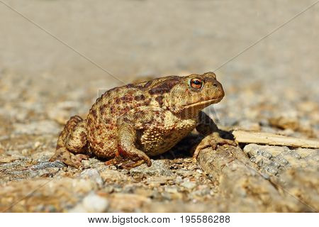 common european brown toad on gravel passing a rural road ( Bufo female )