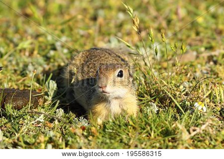 curious juvenile european ground squirrel looking at the camera ( Spermophilus citellus ) image taken in natural habitat on wild animal