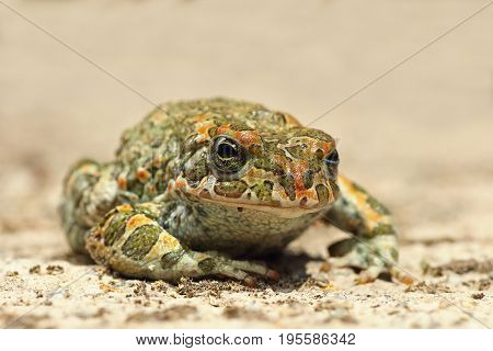 cute european green toad ( Bufotes viridis )