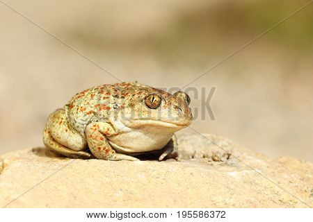 cute garlic toad standing on the ground ( Pelobates fuscus )