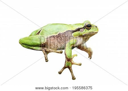 cute european green tree frog isolated over white background for your design ( Hyla arborea )
