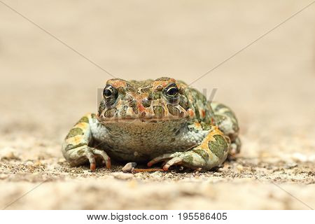 cute young green toad ( Bufotes viridis )