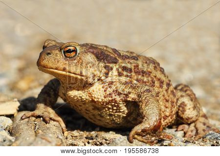 female common brown toad close up full length animal ( Bufo )