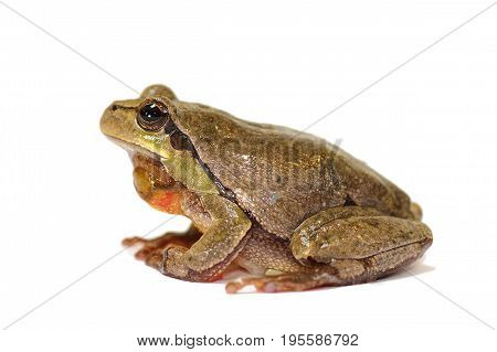 full length green tree frog on white background ( Hyla arborea )