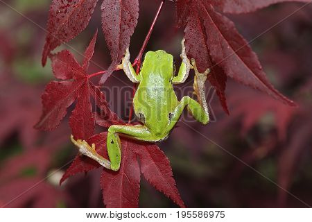 green tree frog climbing on leaves ( Hyla arborea )