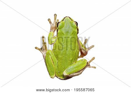 cute european green tree frog isolated over white background full length wild animal for your design ( Hyla arborea )