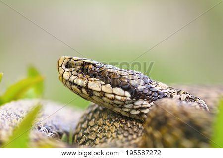 macro portrait of venomous viper the hungarian meadow adder one of the rarest european snakes ( Vipera ursinii rakosiensis )