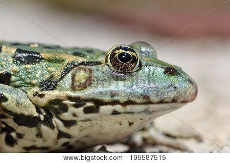 profile view of marsh frog head ( Pelophylax ridibundus macro image )