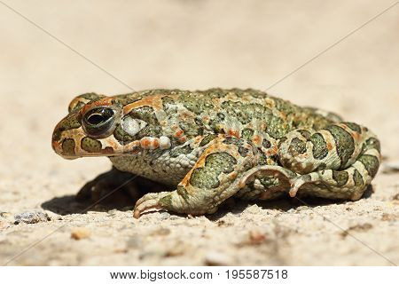 profile image of european common green toad ( Bufotes viridis )