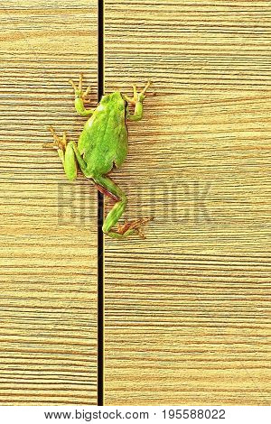 european green tree frog climbing on furniture ( Hyla arborea ); this cute frogs are common in the gardens so they enter the houses sometimes