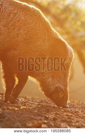 wild hog foraging for food in beautiful orange sunset light ( Sus scrofa )