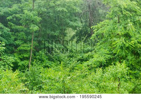 Background of a fragment of the deciduous forest during heavy rain in summer