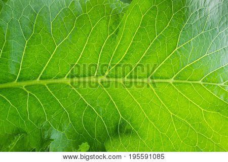 Background of a part of the horseradish leaf closeup