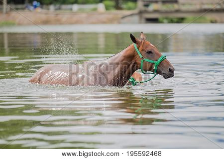 The chestnut horse swims in a lake