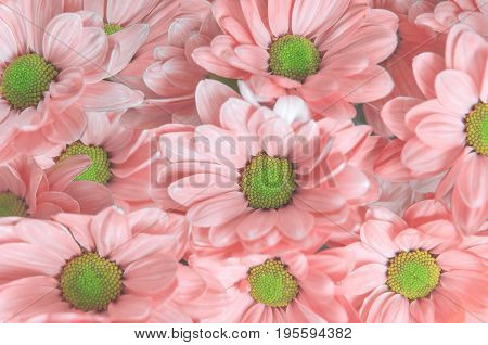 Pink beautiful daisy flower bouqet background close