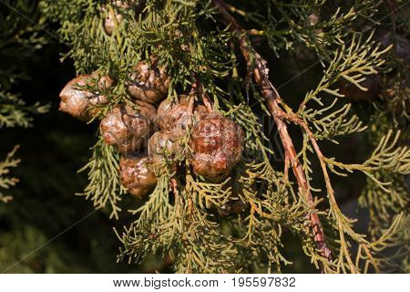 Macro stock photography of the branch of Cupressus arizonica. Conifer needles. Spruce, coniferous tree.