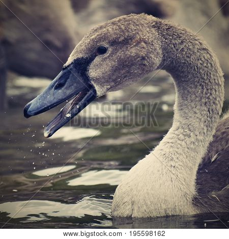 Beautifully young swan (Cygnus olor) Animal in nature.