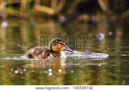 Small Ducks On A Pond. Fledglings Mallards.(anas Platyrhynchos)