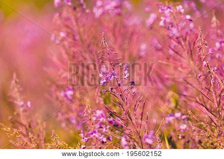 Pink Fireweed Flowers On Spring Meadow