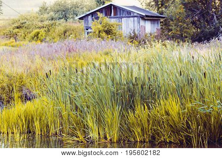 Reeds At The Pond In Summer